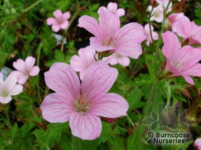 Geranium x oxonianum wargrave pink from burncoose nurseries commonly known as cranesbill mightylinksfo