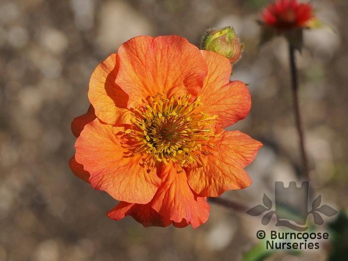 Geum Totally Tangerine From Burncoose Nurseries