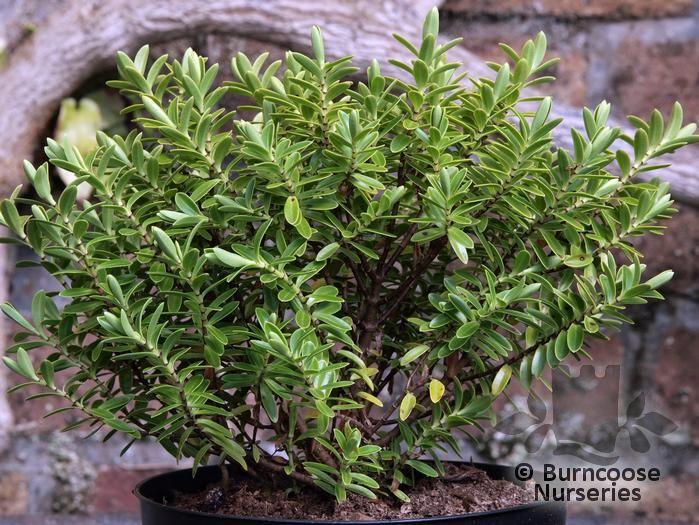 Hebe from burncoose nurseries for Hebe pianta