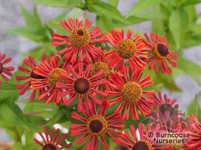 Sneezeweed Helenium autumnale Moerheim Beauty Plant in 9cm Pots