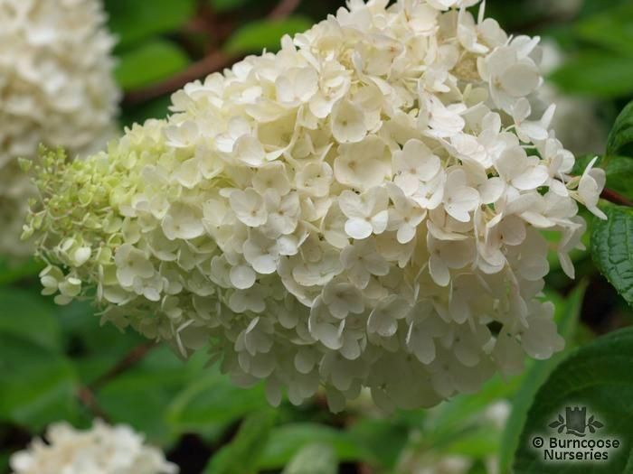 hydrangea paniculata 39 kyushu 39 from burncoose nurseries. Black Bedroom Furniture Sets. Home Design Ideas