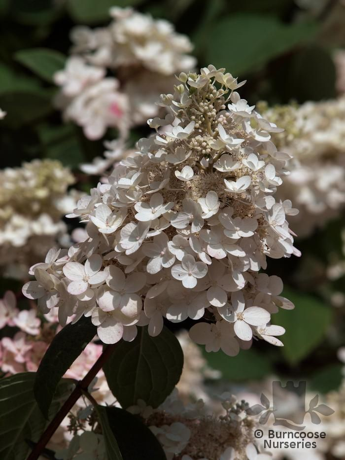 hydrangea paniculata 39 vanille fraise 39 from burncoose nurseries. Black Bedroom Furniture Sets. Home Design Ideas