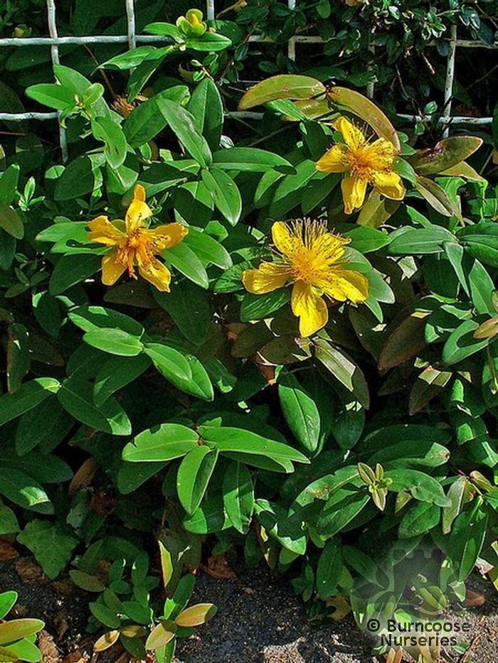 Low Ground Cover Full Sun: Hypericum Calycinum From Burncoose Nurseries