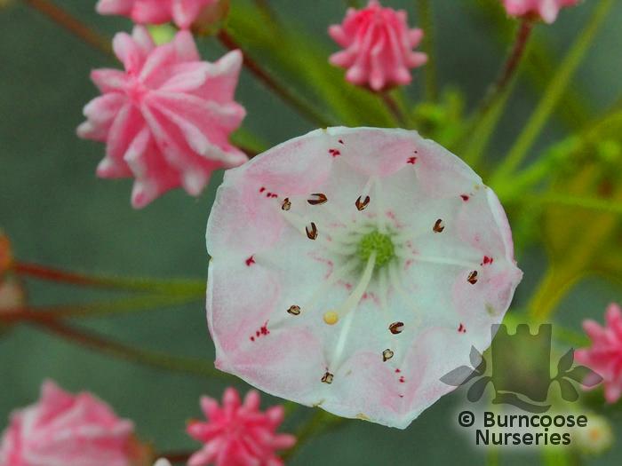 Kalmia Latifolia From Burncoose Nurseries