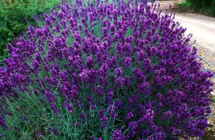 lavandula angustifolia 39 hidcote 39 from burncoose nurseries. Black Bedroom Furniture Sets. Home Design Ideas