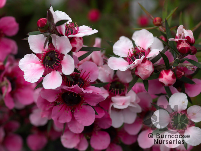 Leptospermum scoparium martini from burncoose nurseries profuse large pink flowers turning deeper with age mightylinksfo