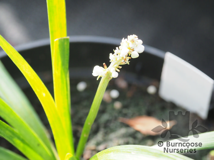 Liriope Muscari From Burncoose Nurseries