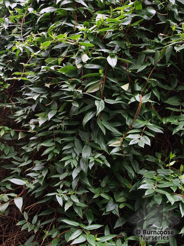 Lonicera Henryi From Burncoose Nurseries Climbing