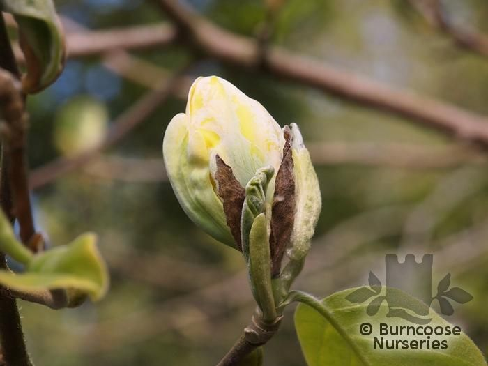 Magnolia Acuminata From Burncoose Nurseries