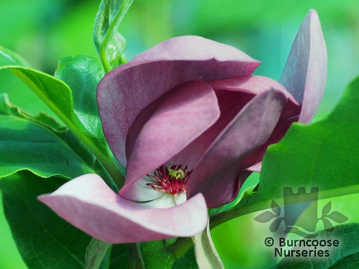 Magnolia From Burncoose Nurseries Page 1