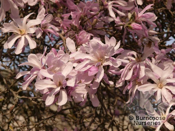Magnolia X Loebneri Leonard Messel From Burncoose Nurseries