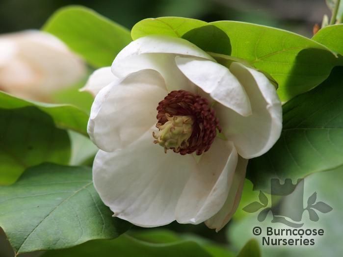 magnolia sieboldii from burncoose nurseries. Black Bedroom Furniture Sets. Home Design Ideas