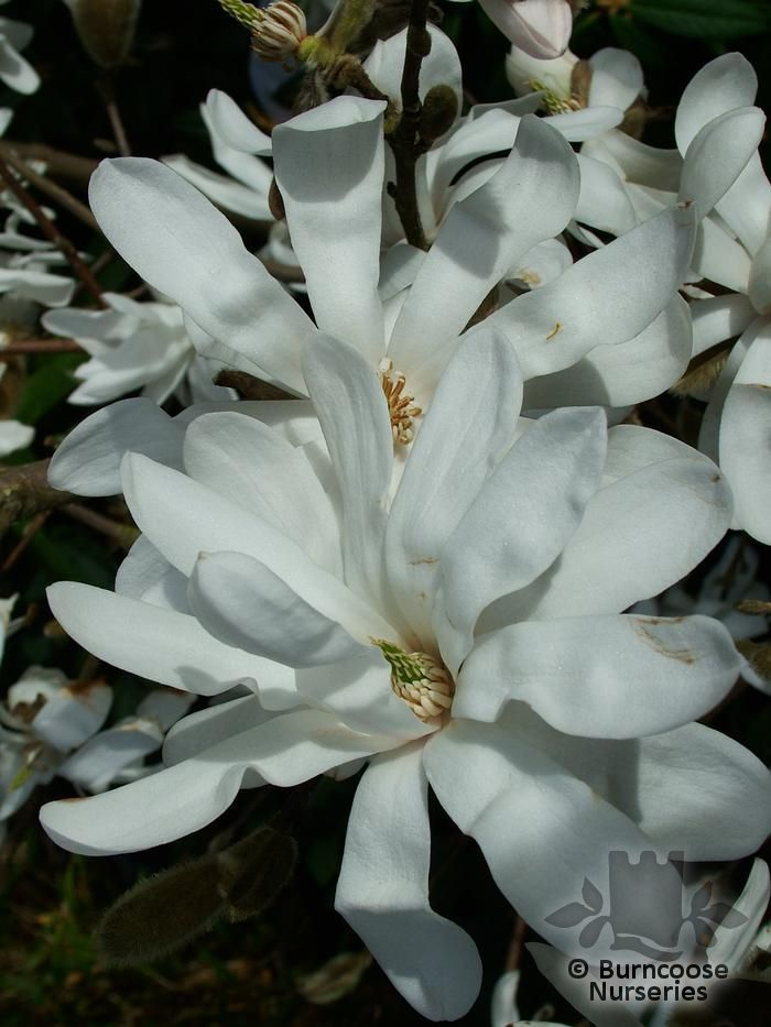 magnolia stellata from burncoose nurseries. Black Bedroom Furniture Sets. Home Design Ideas