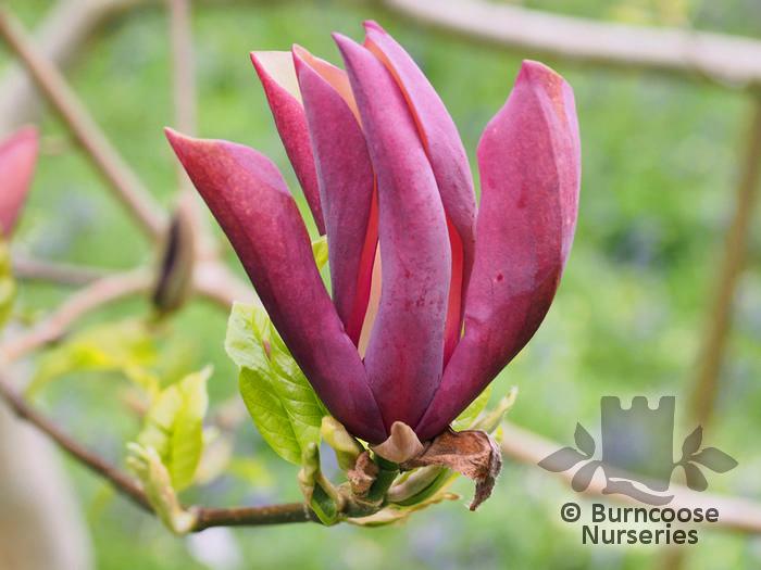 Magnolia X Brooklynensis Black Beauty From Burncoose Nurseries