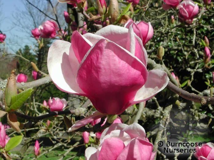 Magnolia X Soulangeana Rustica Rubra From Burncoose Nurseries