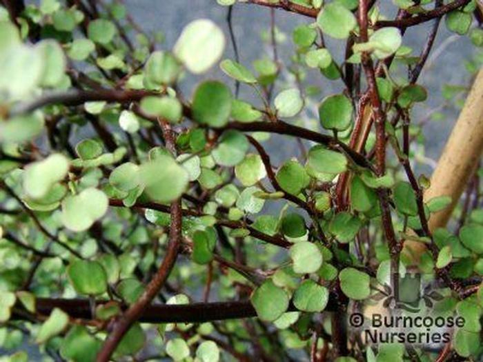 Muehlenbeckia From Burncoose Nurseries
