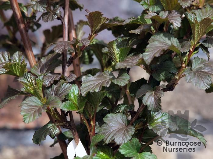Physocarpus opulifolius diabolo from burncoose nurseries white flowers and dark purple leaves which start out bronze green when young mightylinksfo