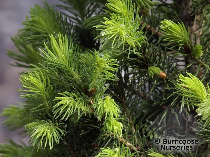 Christmas Tree History Origin
