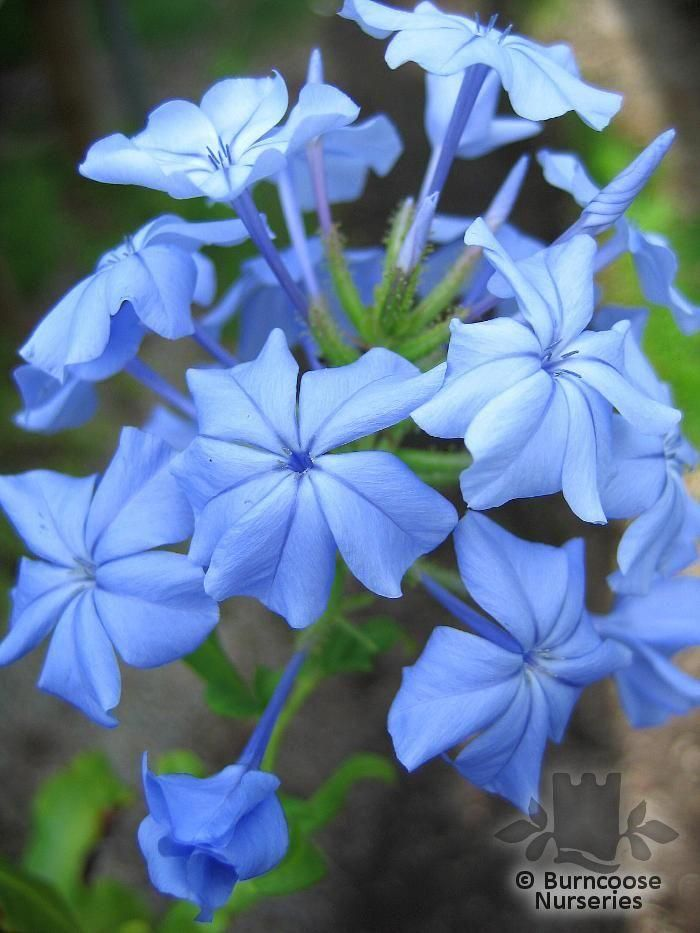 Plumbago From Burncoose Nurseries