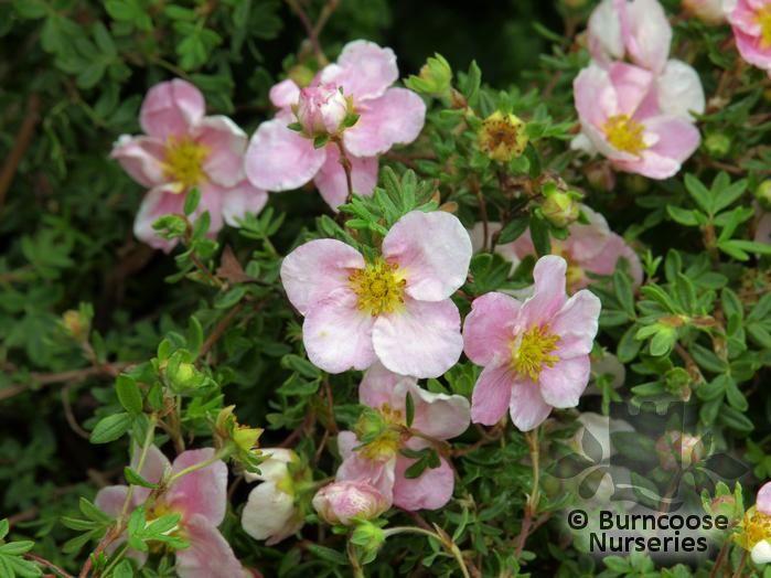 Potentilla Fruticosa Princess From Burncoose Nurseries