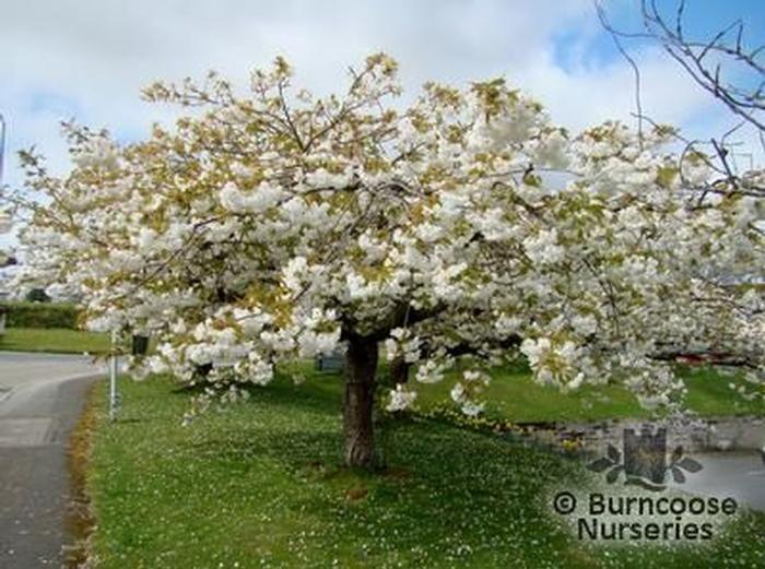 prunus tai haku from burncoose nurseries flowering