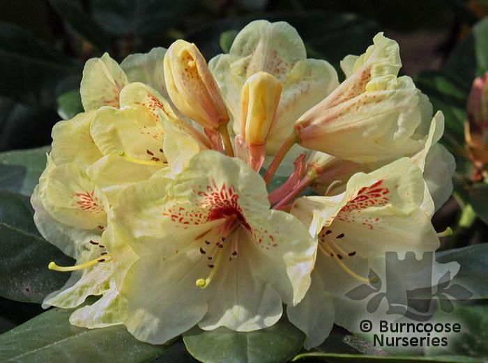 rhododendron from burncoose nurseries page 2. Black Bedroom Furniture Sets. Home Design Ideas