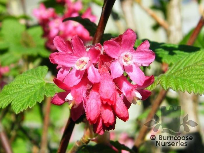 ribes sanguineum 39 king edward vii 39 from burncoose nurseries. Black Bedroom Furniture Sets. Home Design Ideas