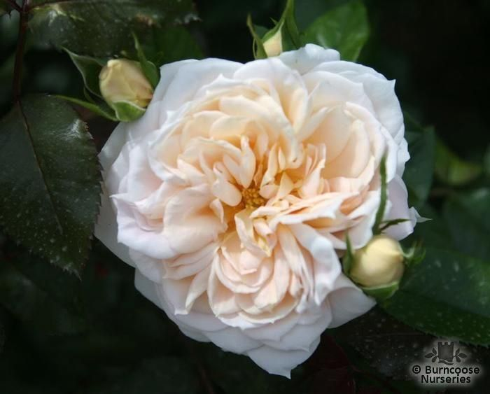 Rosa Champagne Moment From Burncoose Nurseries Polyantha