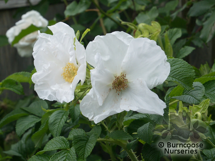 rosa rugosa 39 alba 39 from burncoose nurseries shrub and. Black Bedroom Furniture Sets. Home Design Ideas