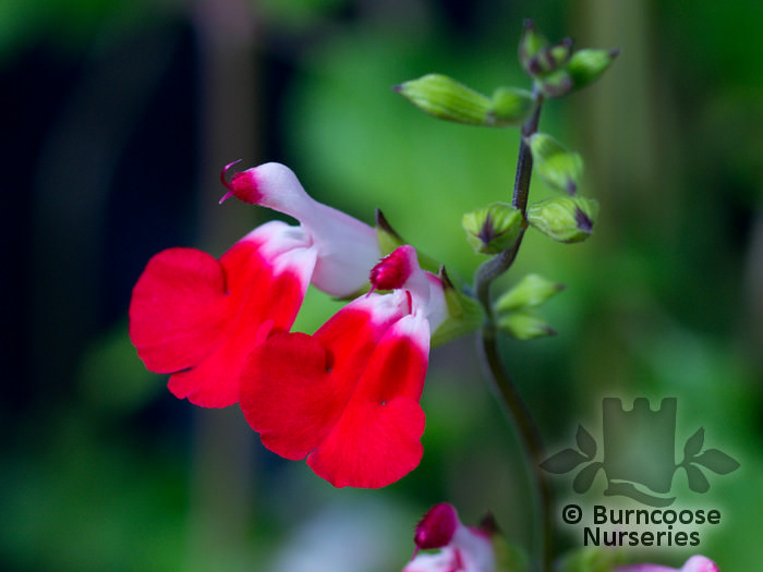 salvia from burncoose nurseries. Black Bedroom Furniture Sets. Home Design Ideas