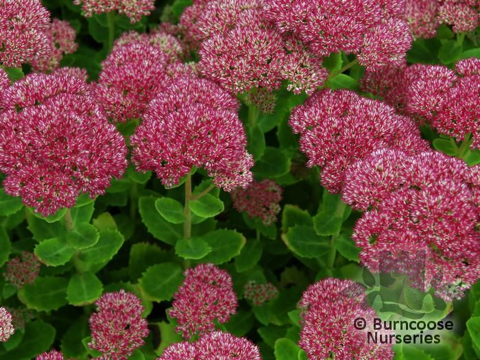 Sedum From Burncoose Nurseries