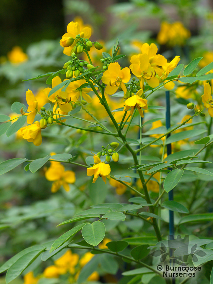Senna Corymbosa From Burncoose Nurseries