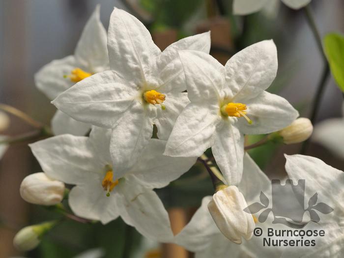 Solanum from Burncoose Nurseries