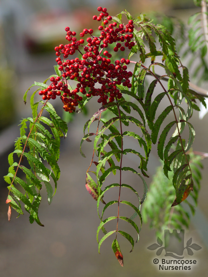 Sorbus chinese lace from burncoose nurseries upright tree with pinnate leaves small white flowers in late spring followed by orange red berries mightylinksfo