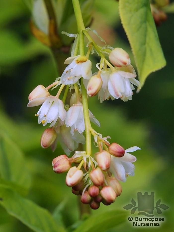Staphylea pinnata from burncoose nurseries bell shaped fragrant pink tinged flowers in long hanging panicles and greenish white fruit mightylinksfo
