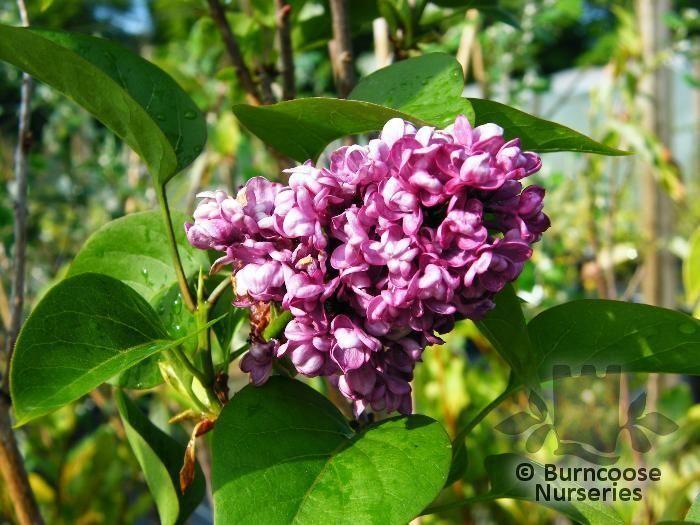 Syringa vulgaris 39 charles joly 39 from burncoose nurseries for Syringa vulgaris