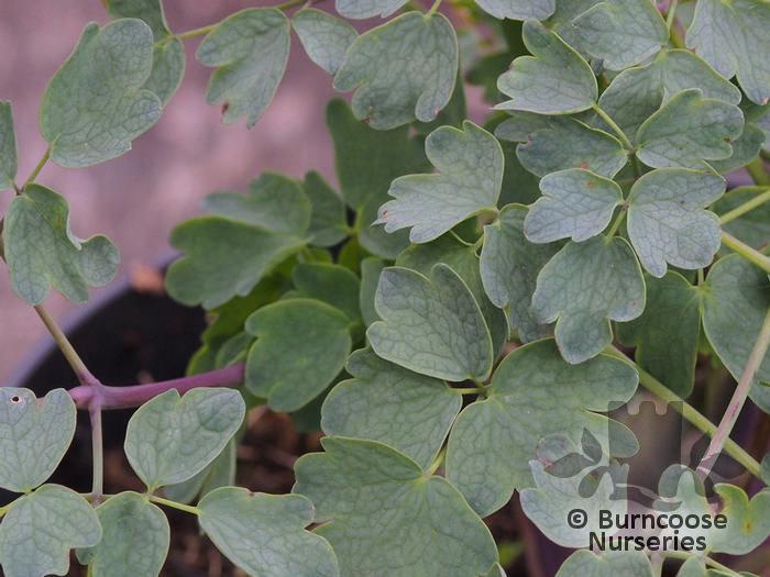 Buy thalictrum plants from burncoose nurseries for Thalictrum rochebrunianum rhs