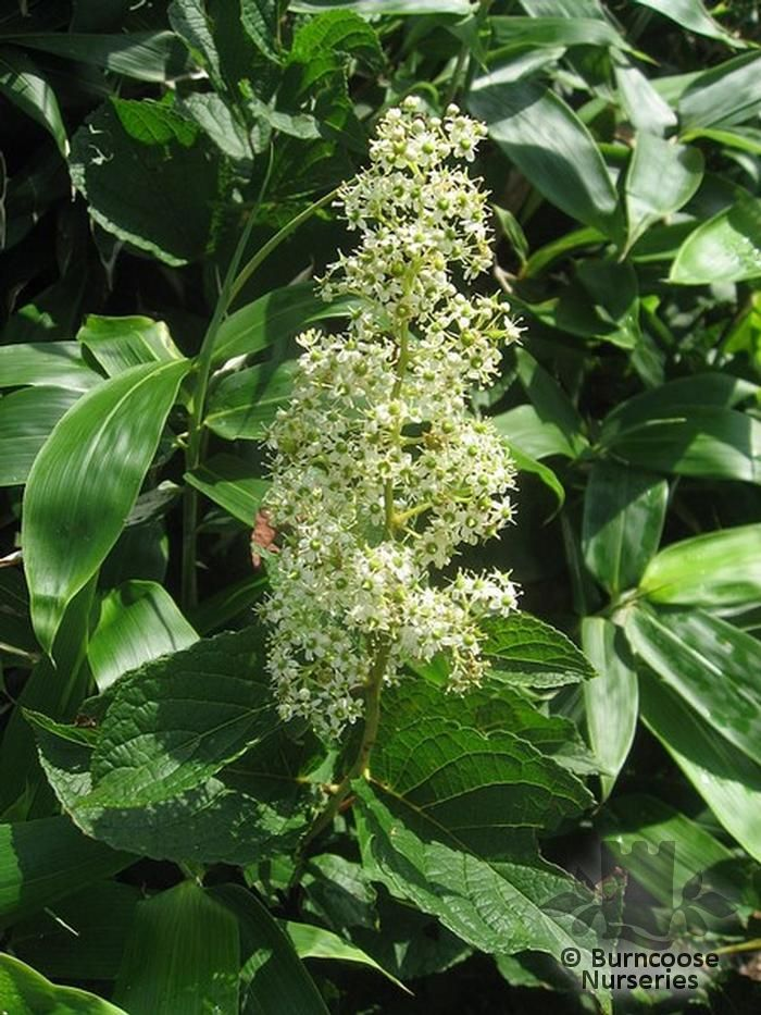 Tripterygium regelii from burncoose nurseries deciduous vigorous climbing plant extending up to 15ft small greenish white flowers in brown pubescent panicles mightylinksfo