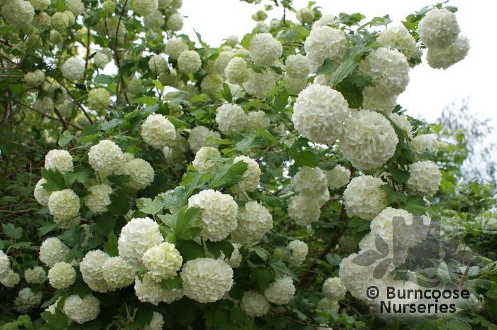 Viburnum Opulus Roseum From Burncoose Nurseries