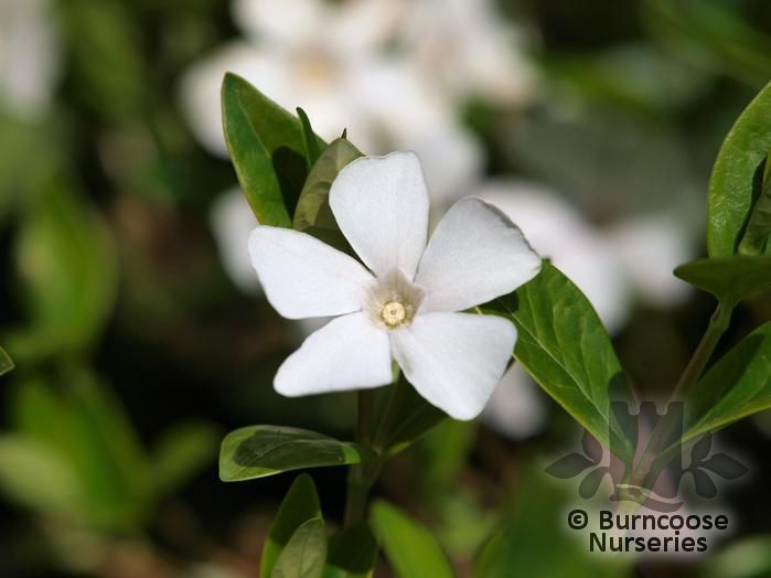 vinca minor 39 alba 39 from burncoose nurseries. Black Bedroom Furniture Sets. Home Design Ideas