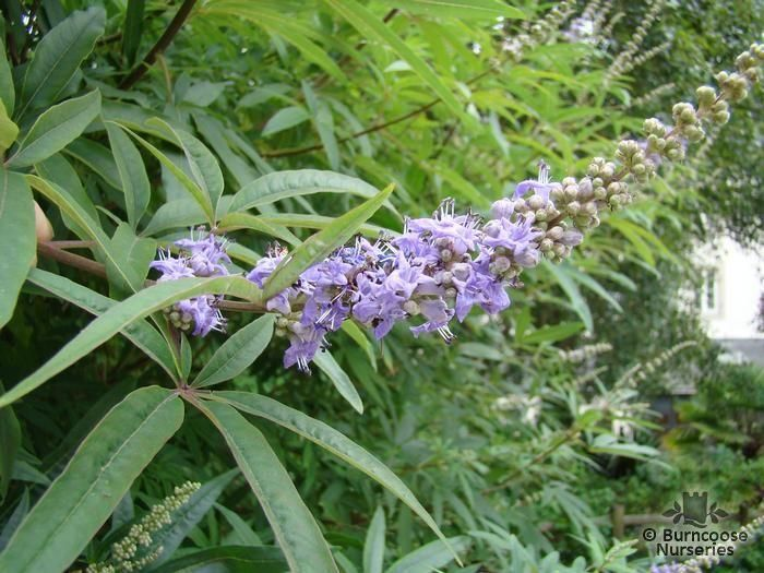 vitex agnus castus from burncoose nurseries. Black Bedroom Furniture Sets. Home Design Ideas