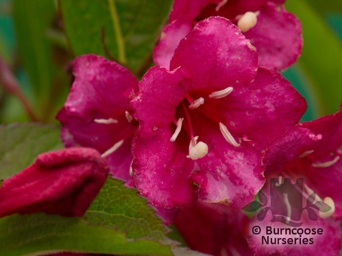weigela from burncoose nurseries. Black Bedroom Furniture Sets. Home Design Ideas