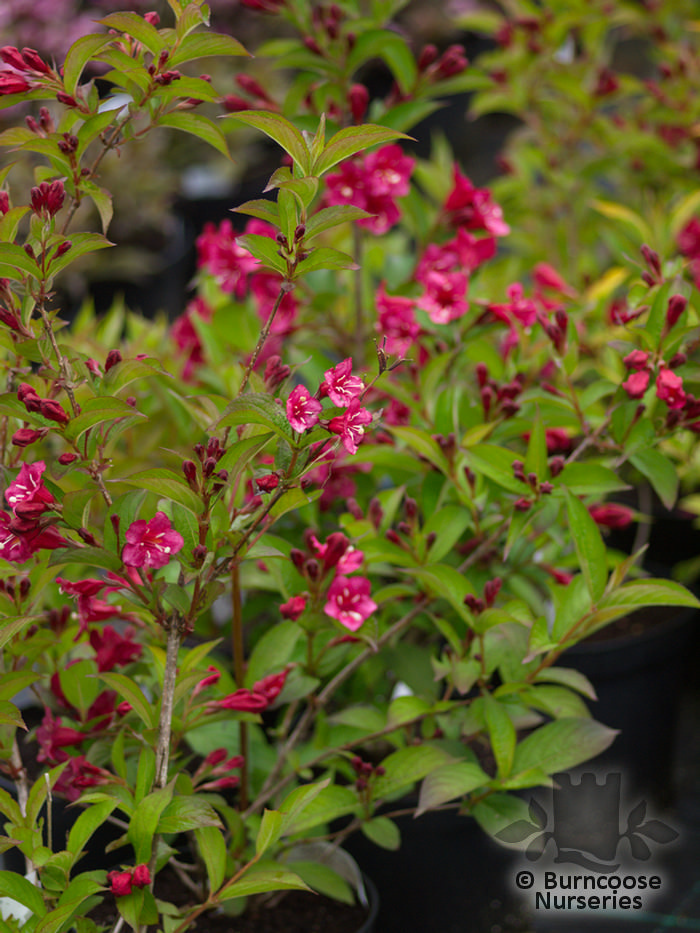 weigela 39 bristol ruby 39 from burncoose nurseries. Black Bedroom Furniture Sets. Home Design Ideas