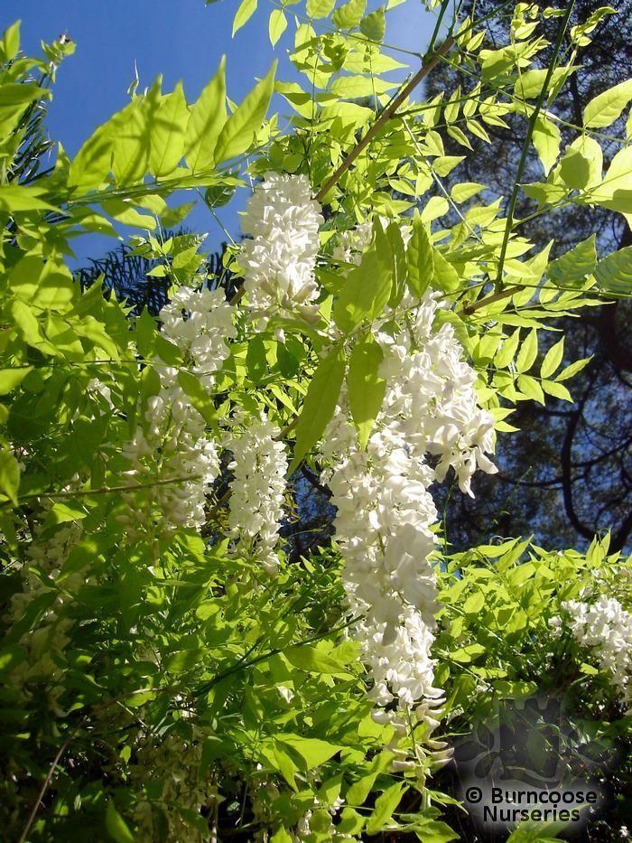 Chinensis 35 Graines Wisteria Sinensis Alba W