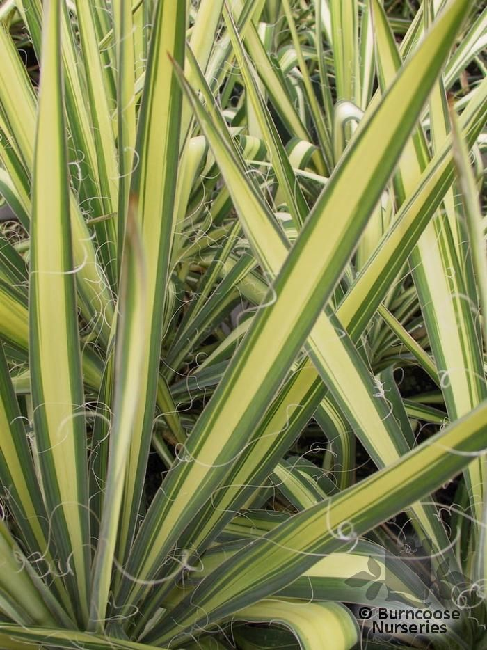 Yucca Filamentosa From Burncoose Nurseries