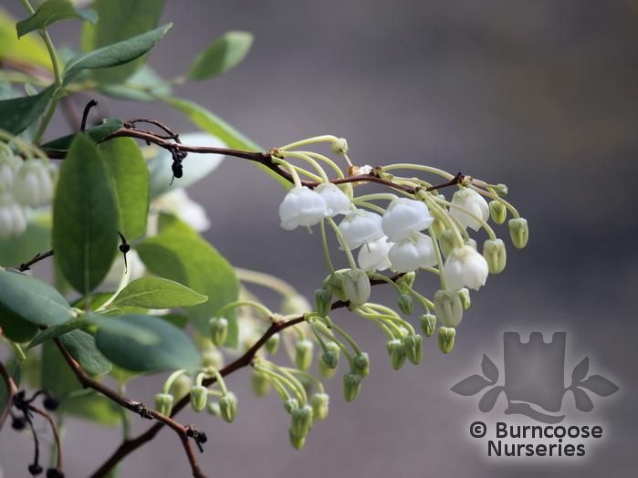 Zenobia pulverulenta from burncoose nurseries beautiful small deciduous or semi evergreen shrub white bell shaped flowers resembling a large lily of the valley are aniseed scented and appear in mightylinksfo