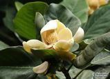magnolia_delavayi