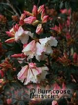 buy Rhododendron 'Lady Alice Fitzwilliam'
