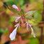 ABELIA x grandiflora 'Gold Jewel'