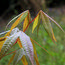 ACER flabellatum var. yunnanense
